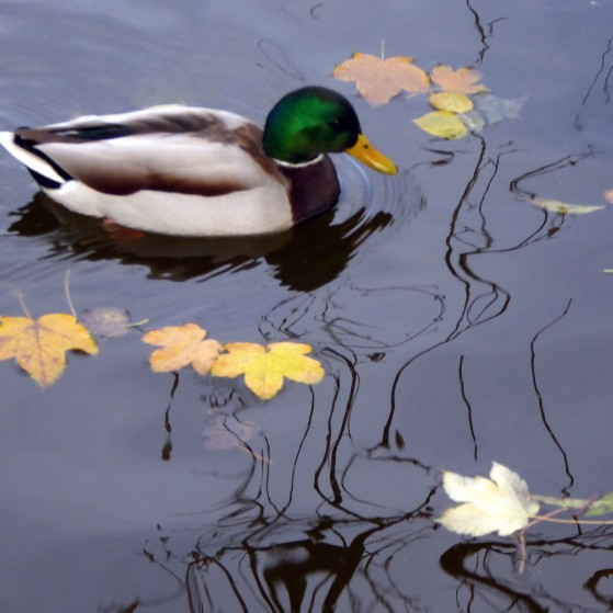Ducks and seagulls in the lake in autumn no.1