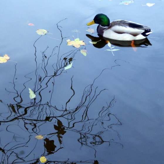Ducks and seagulls in the lake in autumn no.2