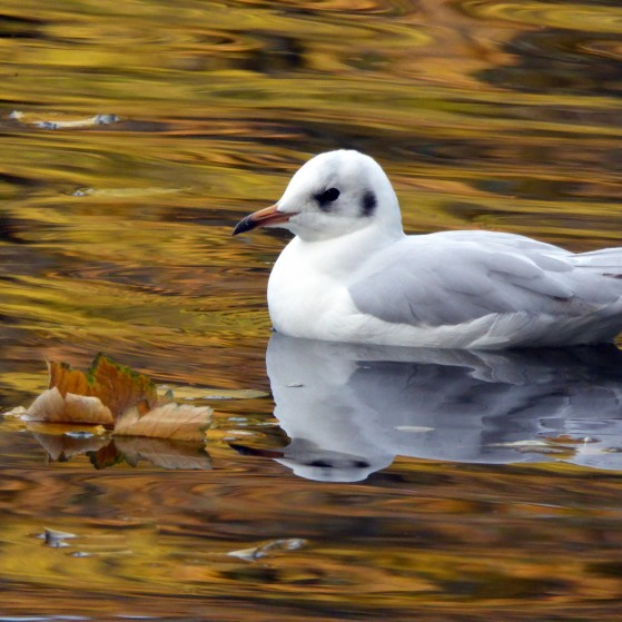 Ducks and seagulls in the lake in autumn no.6