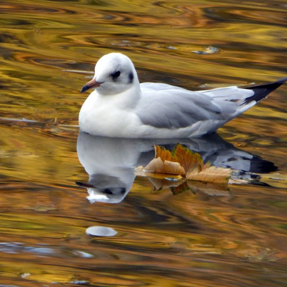 Ducks and seagulls in the lake in autumn no.7