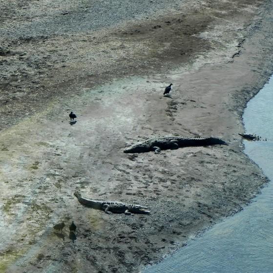 Crocodiles and birds in Costa Rica