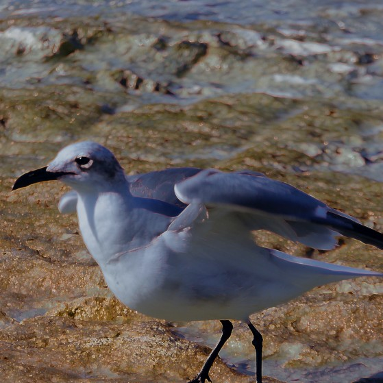 Bahamas,Birds no.7