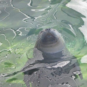 A seal surrounded by ripples